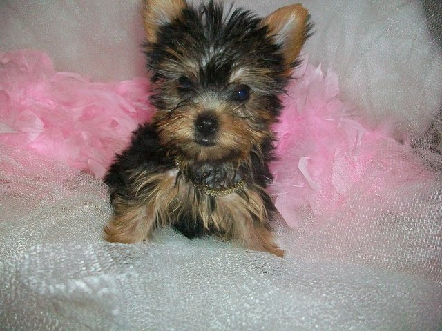 Adult picture poo yorkie