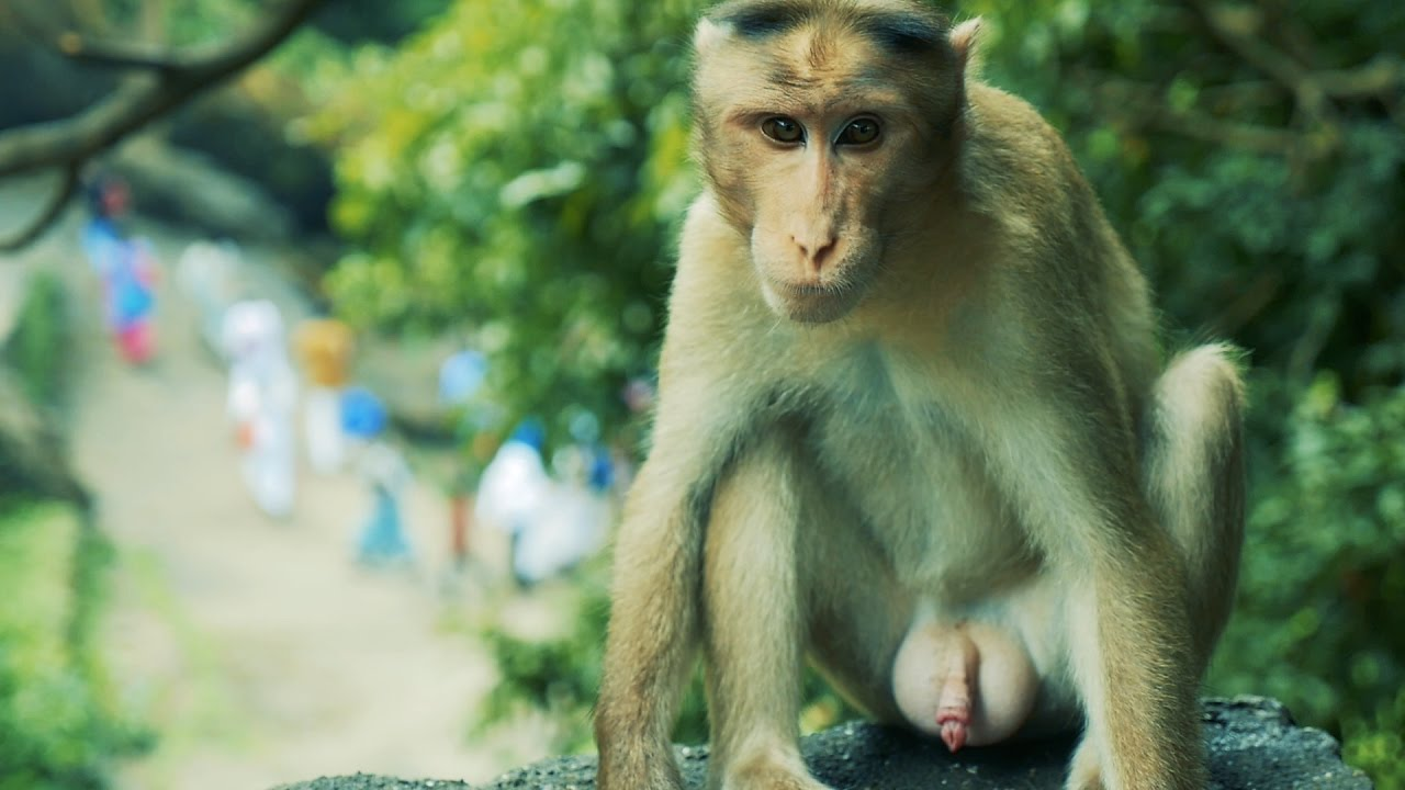 Monkey fucks girl woman
