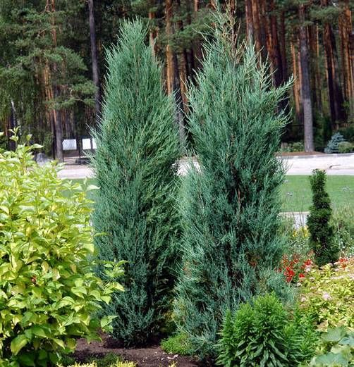 Tall evergreen shrubs juniper
